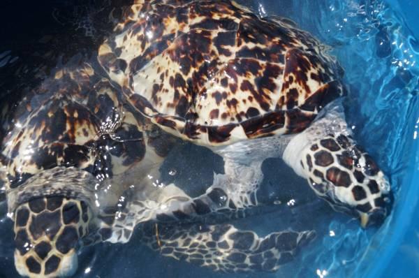Rehabilitated Hawksbill Turtles Released!